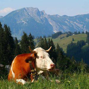 Yaourt Vache
